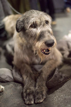 Gray big Irish Wolfhound dog muzzle portrait, dog lying on the floor