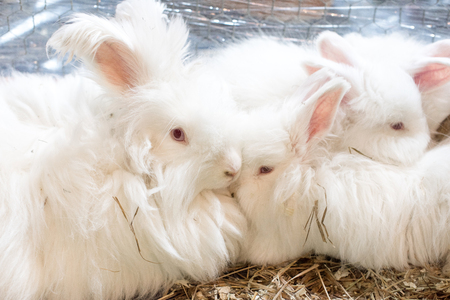 Three funny fluffy Angora rabbit with silky and soft white wool in a cage.
