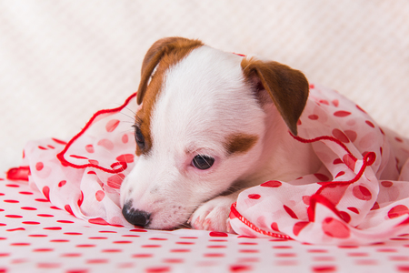Funny female Jack Russell Terrier dog puppy with polka dots silk scarf are lying. Stock Photo