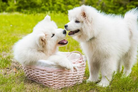 Two Funny Samoyed puppies dogs in the basket Stock Photo