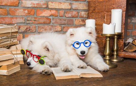 Two White fluffy Samoyed puppies dogs with book 版權商用圖片 - 128617599