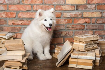 White fluffy Samoyed puppy dog with book 版權商用圖片 - 128617602