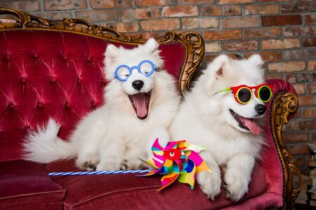 Funny white Samoyed dogs puppies on the red luxury couch Stockfoto - 128617604