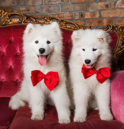 Funny white Samoyed dogs on the red luxury couch Stockfoto - 128617600
