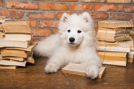 White fluffy Samoyed puppy dog with book 版權商用圖片 - 128617609