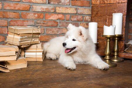 White fluffy Samoyed puppy dog with book Stockfoto - 128617610