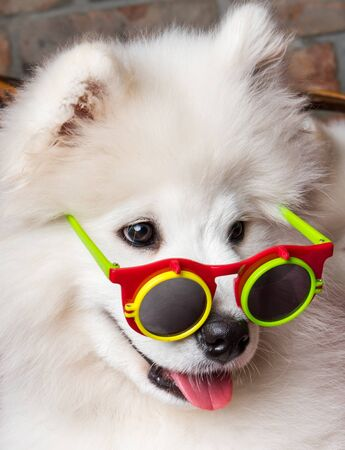 Funny white Samoyed dog puppy with glasses 版權商用圖片 - 128617613
