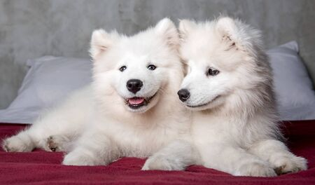 Two samoyed dogs puppies in the red bed on bedroom background
