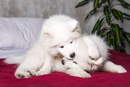 Two samoyed dogs puppies are playing in the bed Stockfoto - 128617636