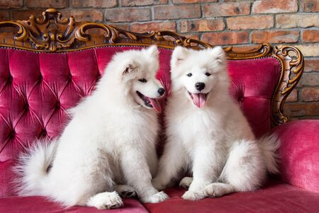 Samoyed dogs on the red luxury couch Stockfoto - 128617633