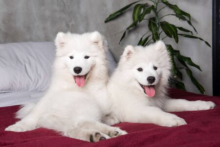 Two samoyed dogs puppies in the red bed on bedroom Stockfoto - 128618275