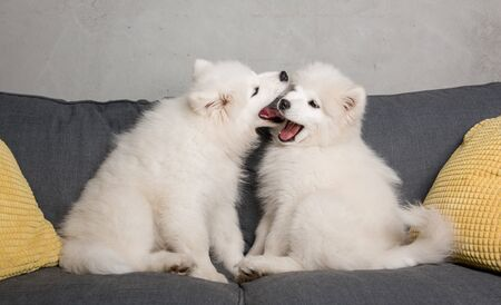 Two samoyed dogs puppies are playing in the gray couch