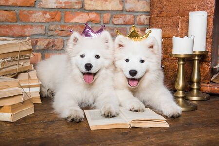 Two White fluffy Samoyed puppies dogs with book 版權商用圖片 - 128618280