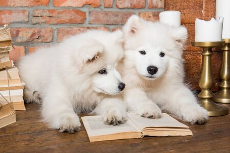 Two White fluffy Samoyed puppies dogs with book 版權商用圖片 - 128618279