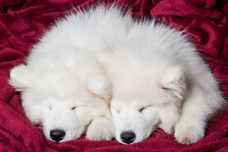 Two samoyed dogs puppies are sleeping in the red bed on bedroom