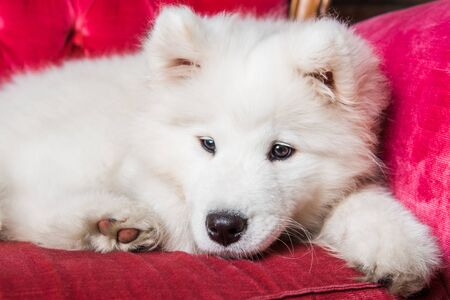 Samoyed dog puppy on the red luxury couch Stockfoto - 128618284