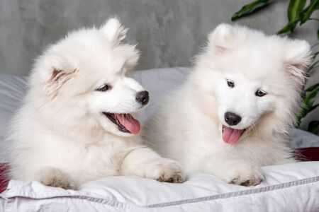 Two samoyed dogs puppies in the red bed on bedroom background Stockfoto - 128618245