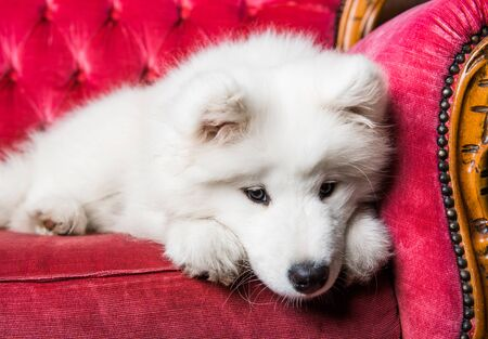 Samoyed dog puppy on the red luxury couch