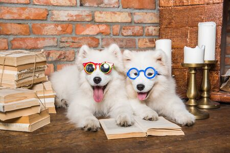 Two White fluffy Samoyed puppies dogs with book