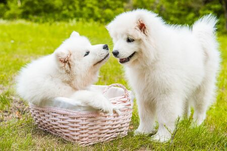 Two Funny Samoyed puppies dogs in the basket on the green grass Stockfoto - 128618256