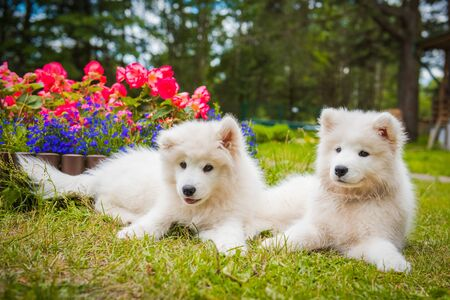 Two Funny Samoyed puppies dogs in the garden on the green grass with flowers Stockfoto - 128618257