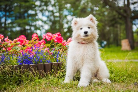 Funny Samoyed puppy dog in the garden on the green grass with flowers Stockfoto - 128618262