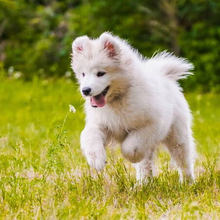 Adorable samoyed puppy is running and jumping