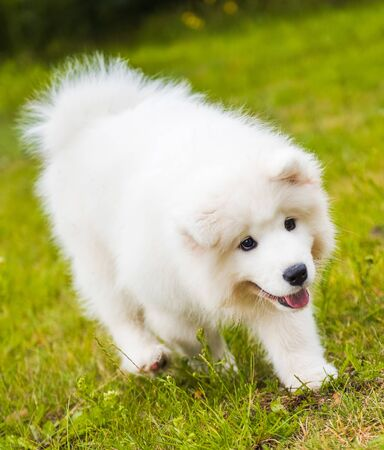 Adorable samoyed puppy is running Stockfoto