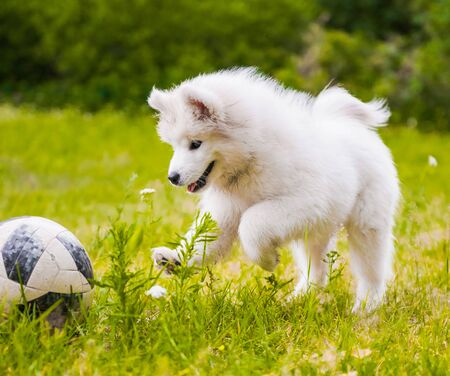 Samoyed puppy dog playing on the grass with ball Reklamní fotografie