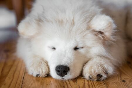 Samoyed puppy laying on the floor and sleeping