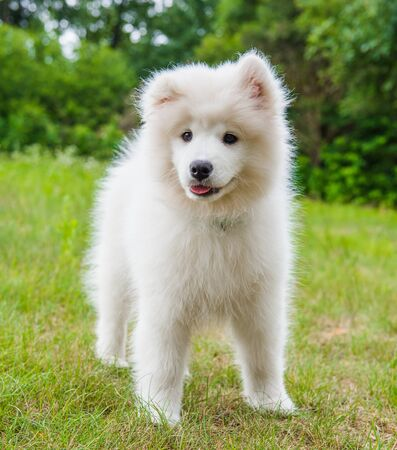 Funny Samoyed puppy dog in the garden on the green grass
