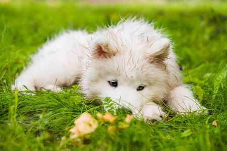 Samoyed puppy dog in the garden on the green grass