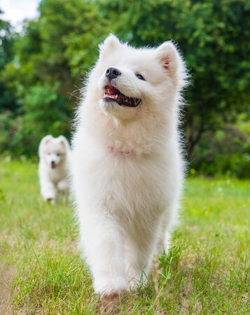 Funny Samoyed puppy dog muzzle in the garden on the green grass Stockfoto