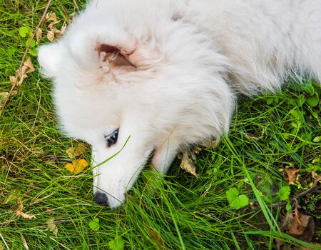 Funny Samoyed puppy dog top view in the garden on the green grass Stockfoto