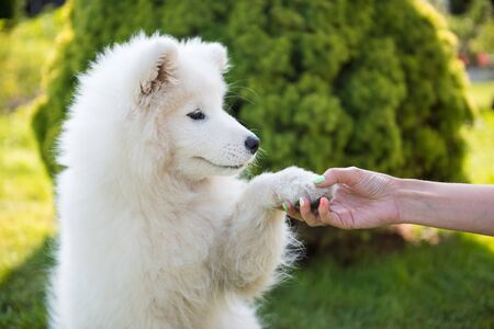 Happy Samoyed dog giving paw to owner Foto de archivo - 128617995