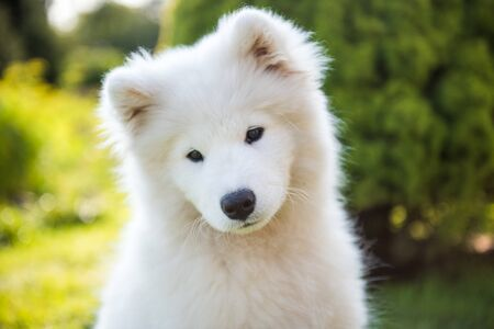 White Samoyed puppy dog muzzle in the garden on the green grass