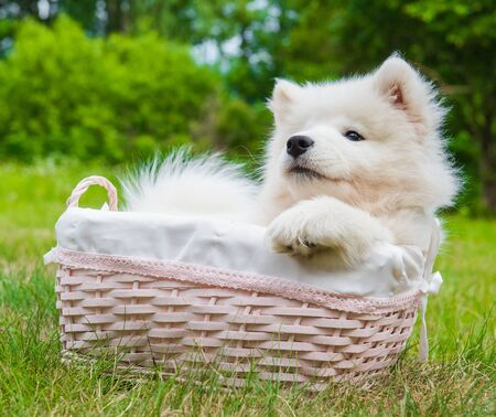 Funny Samoyed puppy dog in the basket on the green grass