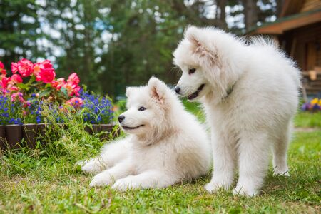 Two Funny Samoyed puppies dogs in the garden on the green grass with flowers