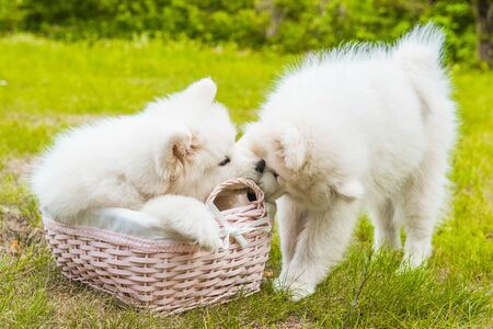 Two Funny Samoyed puppies dogs in the basket on the green grass Stockfoto