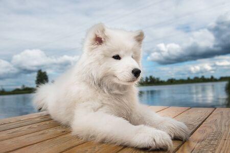 White dog Samoyed walks near water in Sunny day