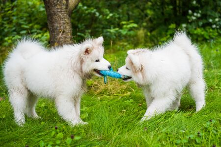 Two Funny fluffy white Samoyed puppies dogs are playing on the green grass Stockfoto - 128617869