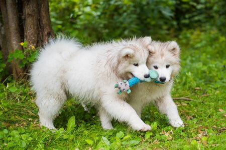 Two Funny fluffy white Samoyed puppies dogs are playing on the green grass Stockfoto