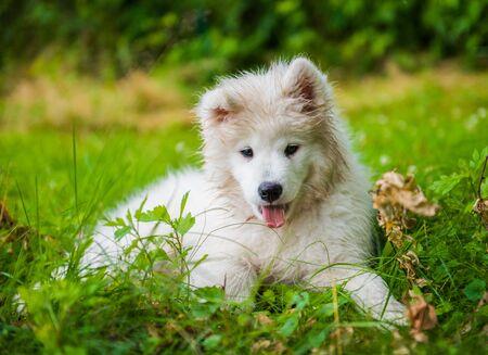 Gracioso cachorro Samoyedo en el jardín sobre la hierba Foto de archivo