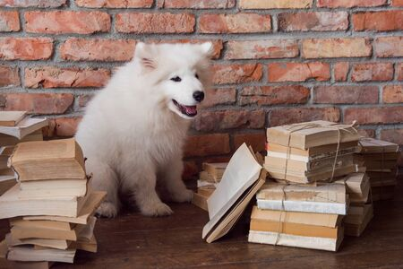 White fluffy Samoyed puppy dog is reading book
