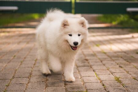 Adorable white samoyed puppy dog is walking in the yard Stockfoto