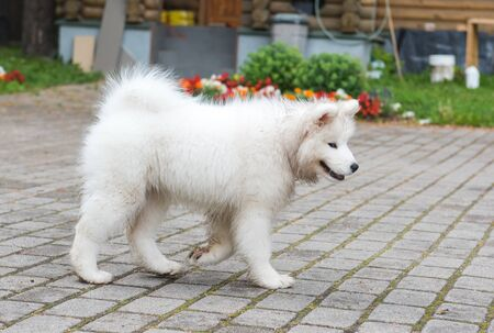 Adorable white samoyed puppy dog is walking in the yard Stockfoto - 128617781