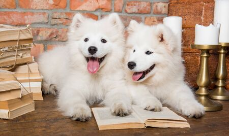 Two White fluffy Samoyed puppies dogs with book 版權商用圖片 - 128617778
