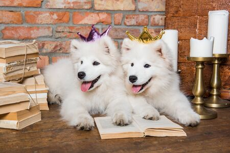 Two White fluffy Samoyed puppies dogs with book 版權商用圖片 - 128617776
