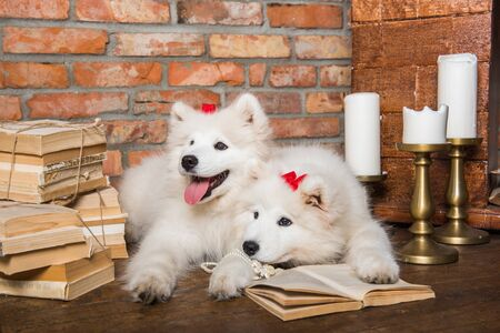 Two White fluffy Samoyed puppies dogs with book Stockfoto - 128617774
