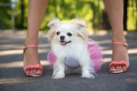 Longhair Chihuahua dog enjoy walking with owner. Stockfoto